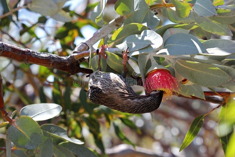 Pássaro do Wattle de Honeyeater fotografia de stock
