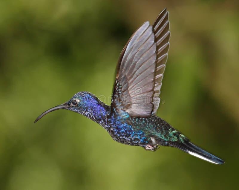 Pássaro do zumbido de Violet Sabrewing foto de stock royalty free