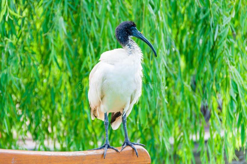 Pássaro dos íbis sagrados que senta-se no banco fotos de stock royalty free