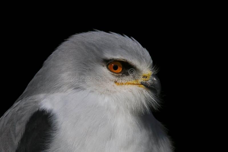 Pássaro dos axillaris do Elanus do papagaio de rapina empurrado preto fotos de stock royalty free