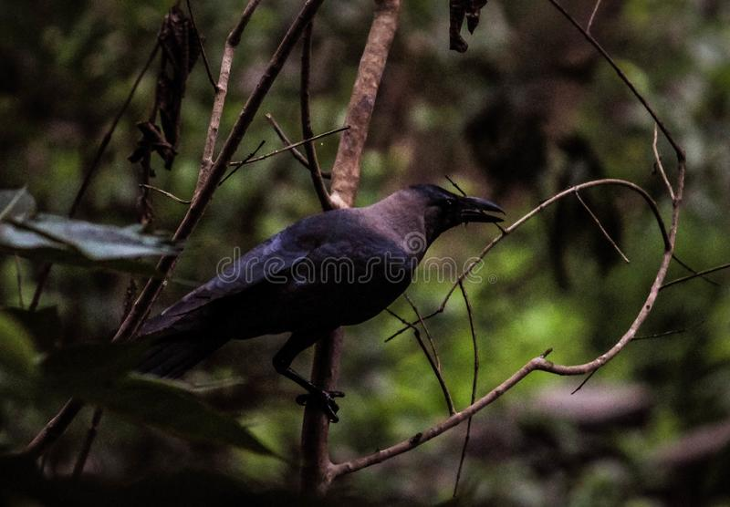 Pássaro dos corvos imagem de stock