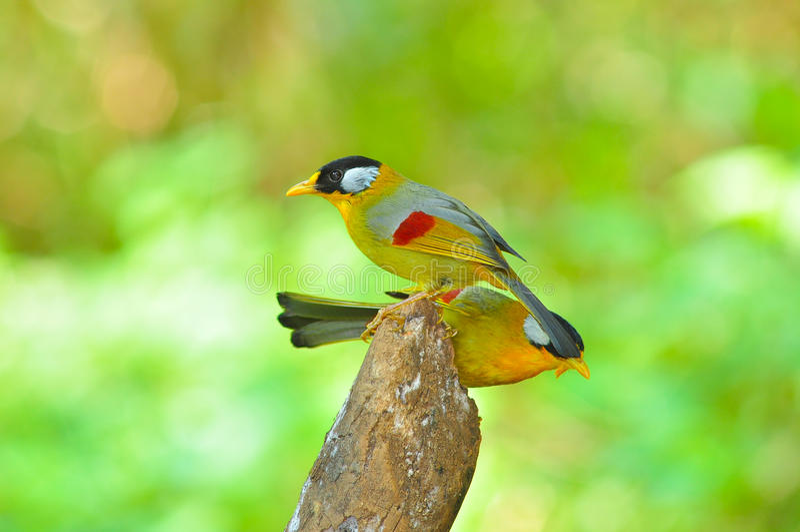 Pássaro dourado foto de stock royalty free