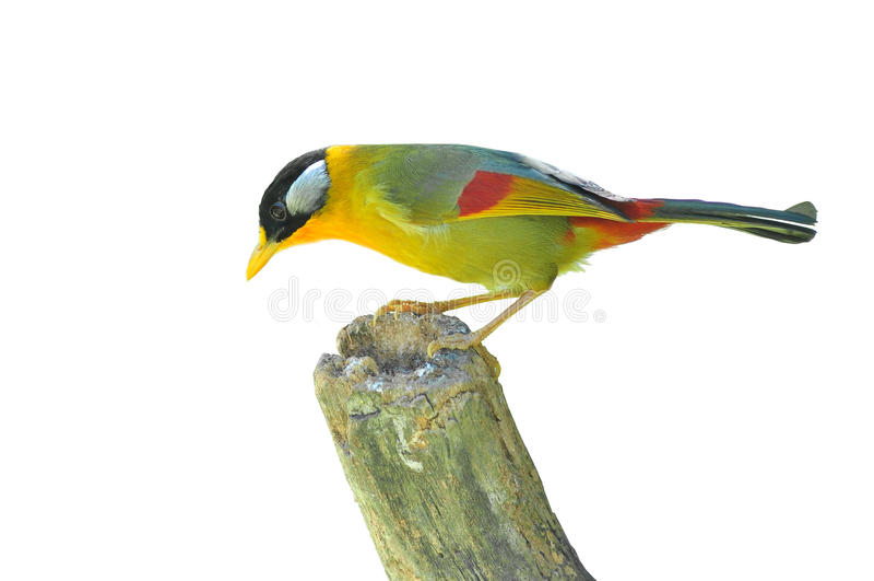 Pássaro dourado (Mesia Prata-orelhudo) fotografia de stock royalty free