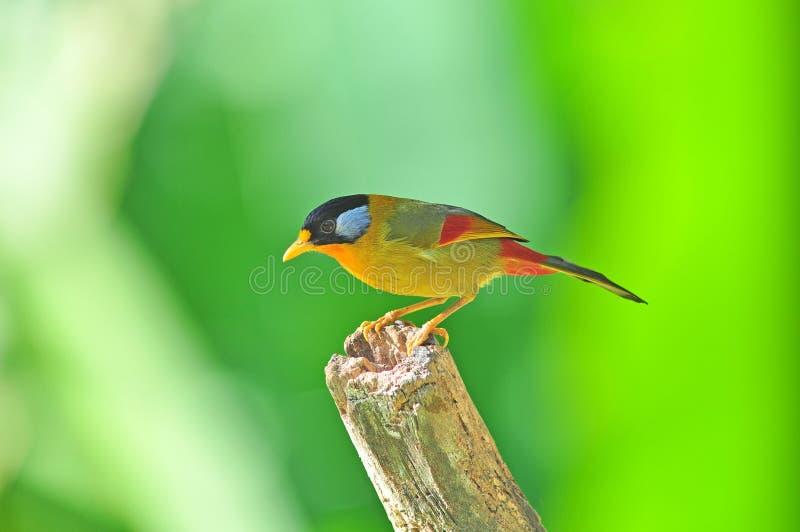 Pássaro dourado (Mesia Prata-orelhudo) foto de stock royalty free