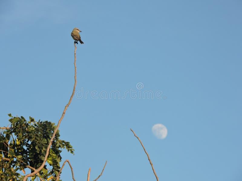 Pássaro e lua fotografia de stock