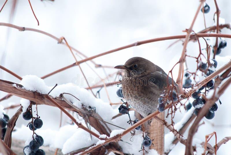 Pássaro e neve imagem de stock royalty free