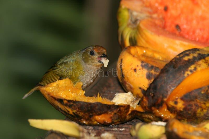 Pássaro e papaia tropicais foto de stock royalty free