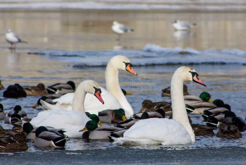 Pássaro e patos brancos da cisne em um lago fotos de stock