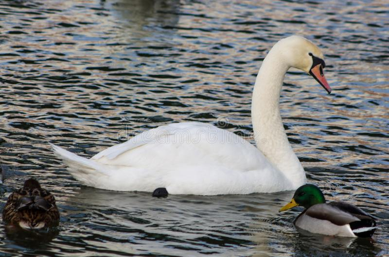 Pássaro e patos brancos da cisne em um lago foto de stock royalty free