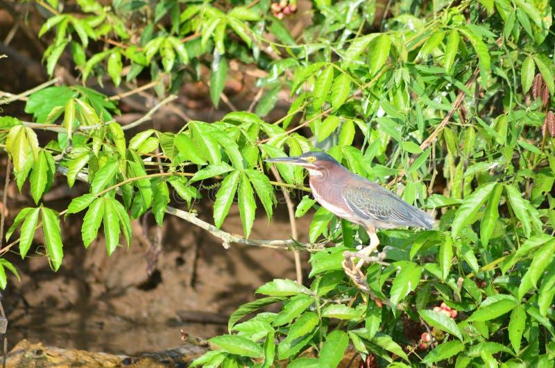 Pássaro em Costa Rica (garça-real de noite Preto-coroada) imagens de stock royalty free