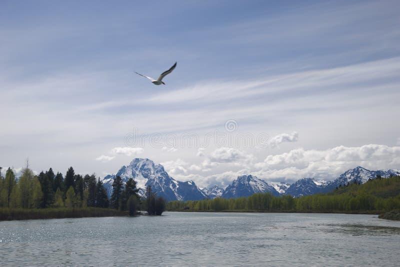 Pássaro em Teton grande imagens de stock