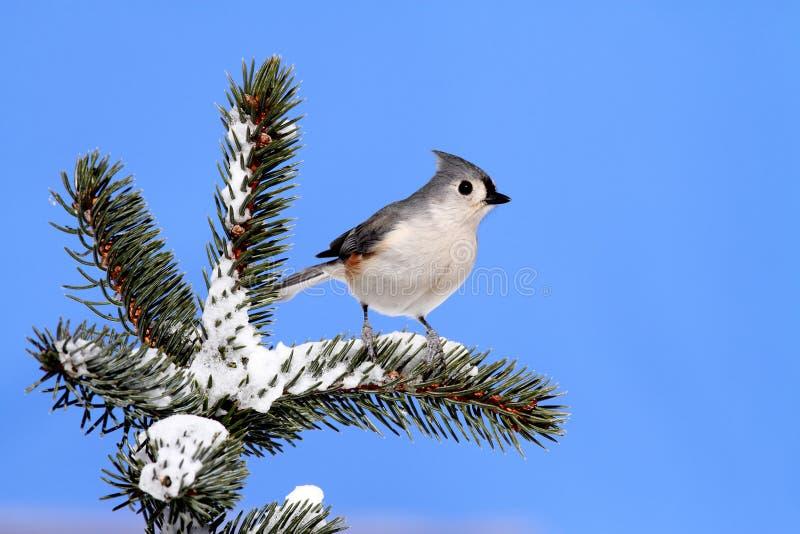Pássaro em uma árvore Spruce com neve imagem de stock royalty free