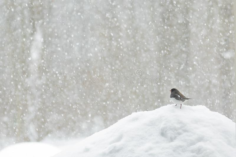 Pássaro em uma tempestade da neve foto de stock royalty free