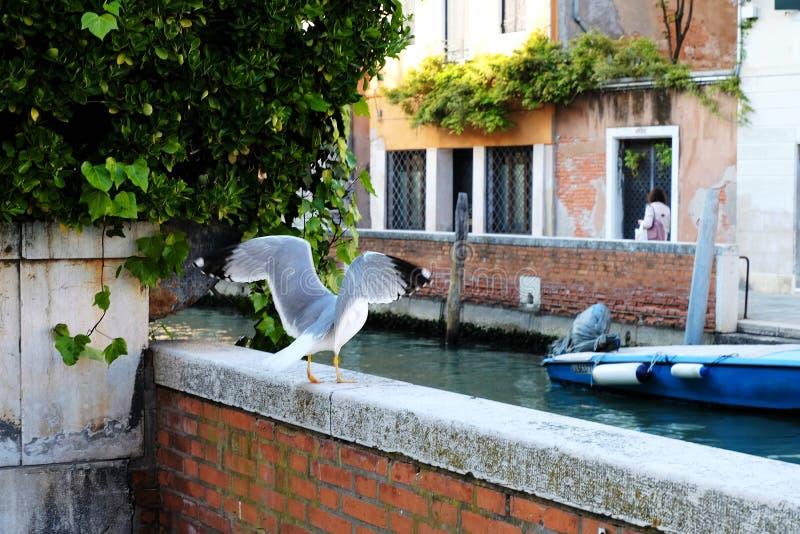 Pássaro em Veneza, Itália levantando-se para um voo foto de stock