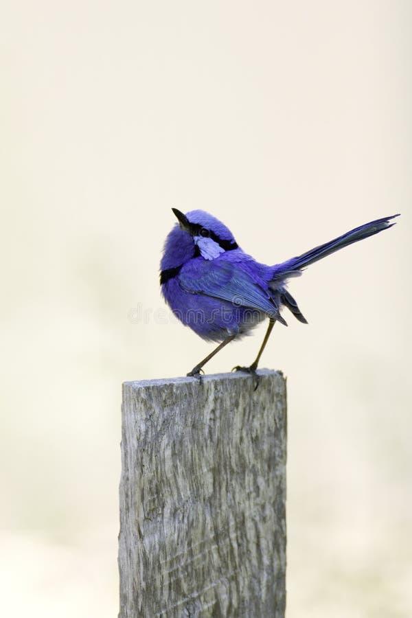 Pássaro esplêndido da fairy-carriça fotos de stock