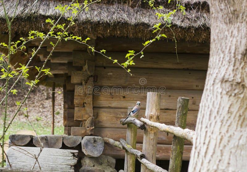 Pássaro euro-asiático do gaio contra a casa velha Pássaro do glandarius do Garrulus fotografia de stock royalty free
