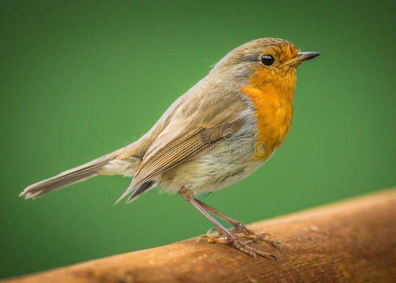 Pássaro europeu do pisco de peito vermelho imagens de stock