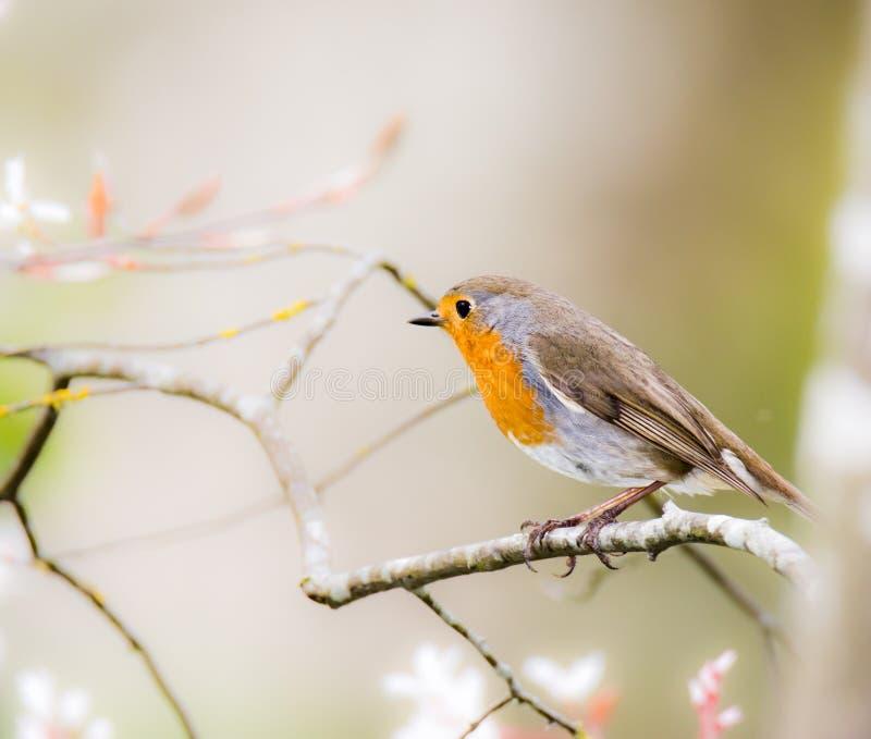 Pássaro europeu do pisco de peito vermelho que senta-se em um ramo de árvore foto de stock