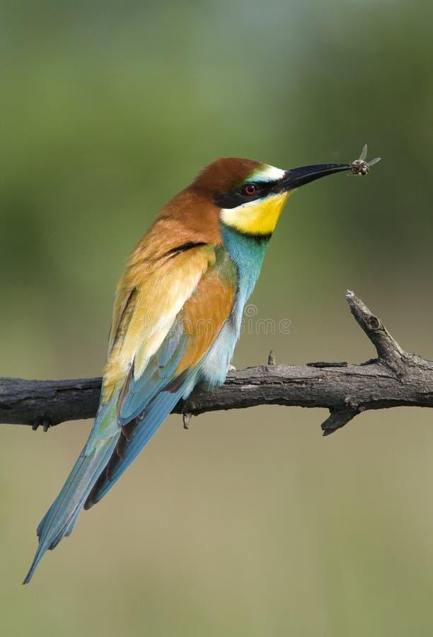 Pássaro exótico bonito que come a abelha imagem de stock royalty free