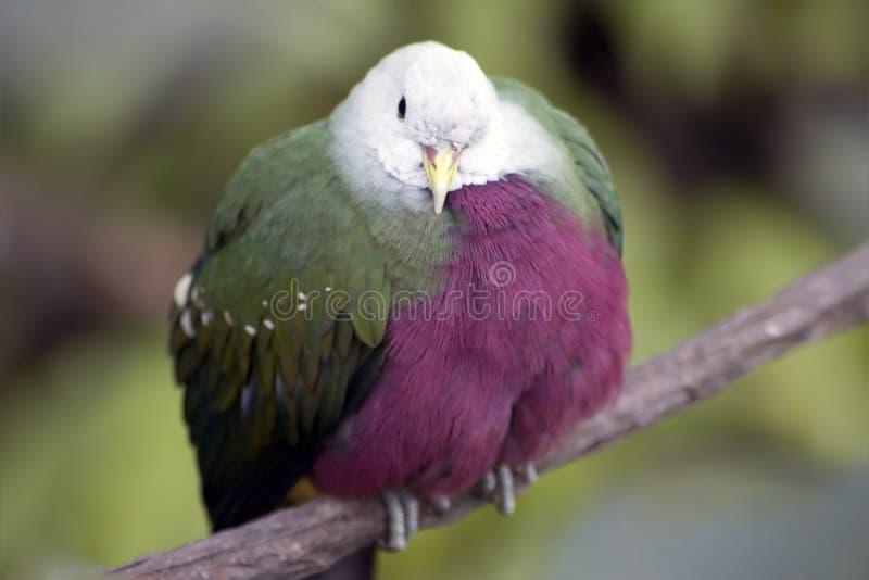 Pássaro exótico mim imagens de stock