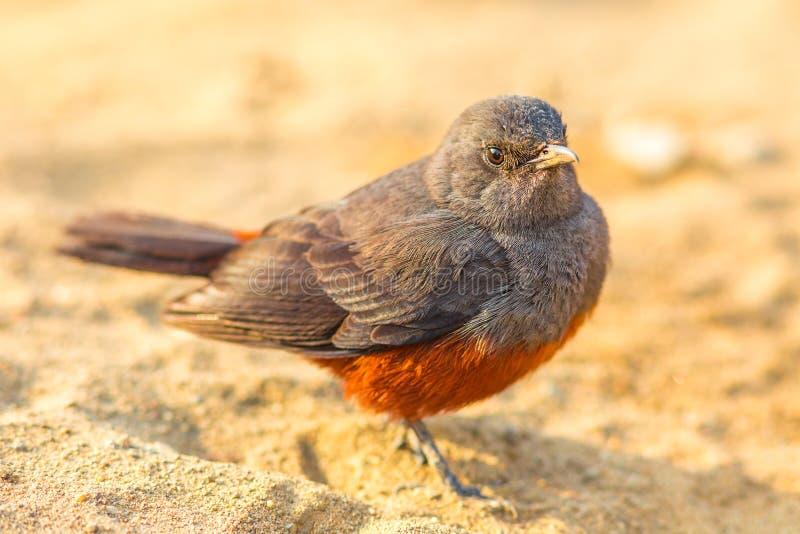 Pássaro fêmea de zombaria do bate-papo do penhasco imagem de stock royalty free