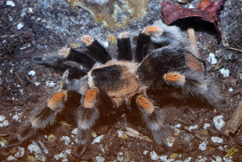 Pássaro gigante que come a aranha fotos de stock royalty free
