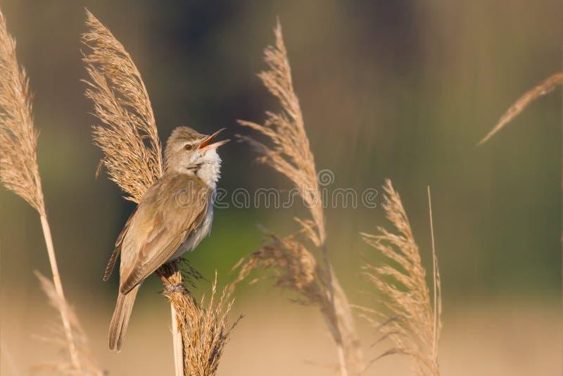 Pássaro - grande toutinegra de lingüeta imagens de stock