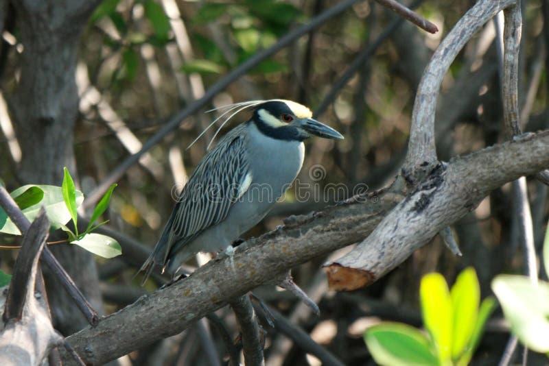 Pássaro, Isla Juan Venado, Nicarágua foto de stock