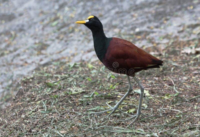 Pássaro Jakana imagens de stock