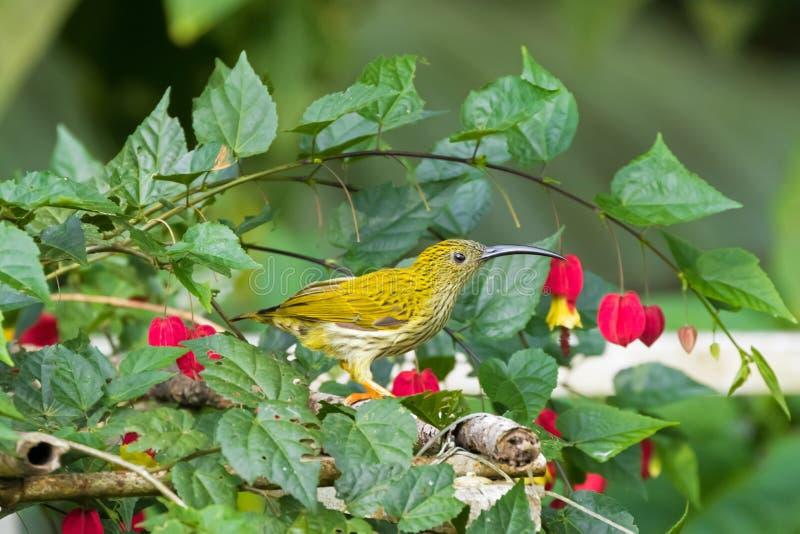 Pássaro listado do spiderhunter que alimenta na flor de Bell brasileira, Malásia fotografia de stock