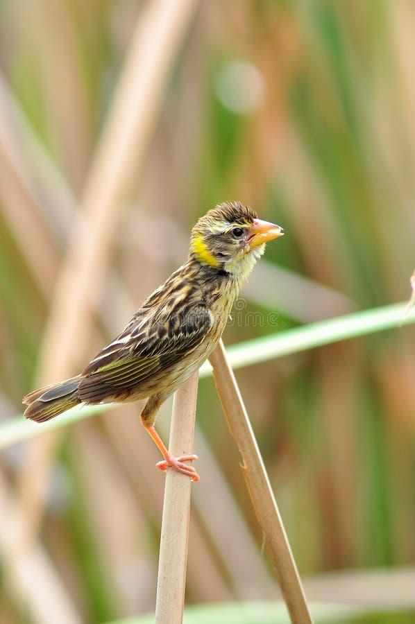 Pássaro listado fêmea do tecelão fotografia de stock royalty free