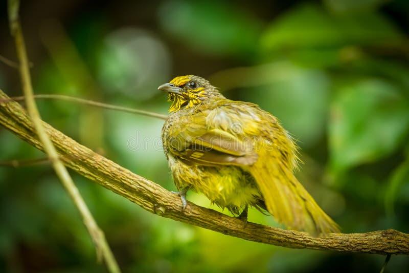 pássaro Listra-throated do bulbul imagens de stock royalty free