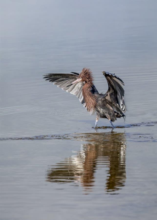Pássaro louco - Egret avermelhado fotos de stock royalty free