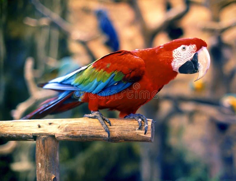 Pássaro-Macaw colorido fotos de stock