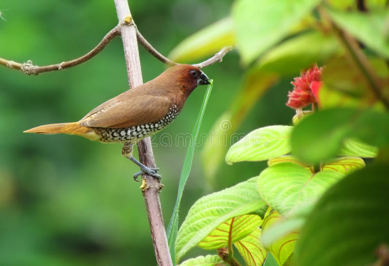 Pássaro manchado pequeno bonito do munia que constrói um ninho imagens de stock