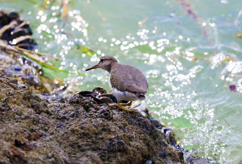 Pássaro marinho do Dunlin pequeno aviário de florida sul Miami Beach imagens de stock royalty free
