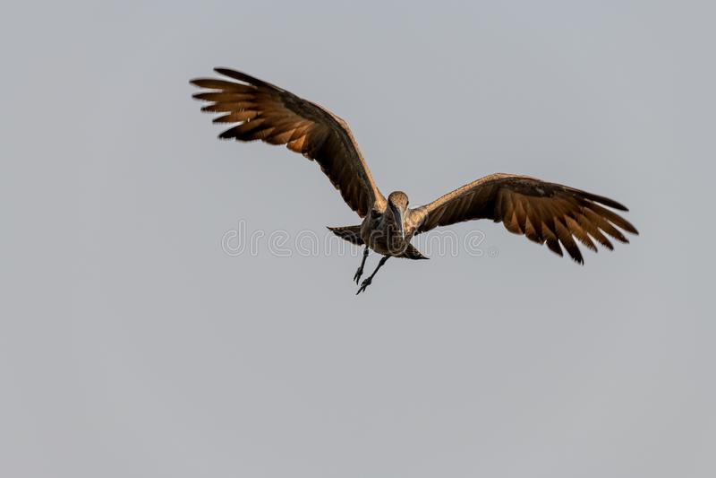 Pássaro marrom grande nos pantanais no rio do chobe em Botswana em África imagem de stock