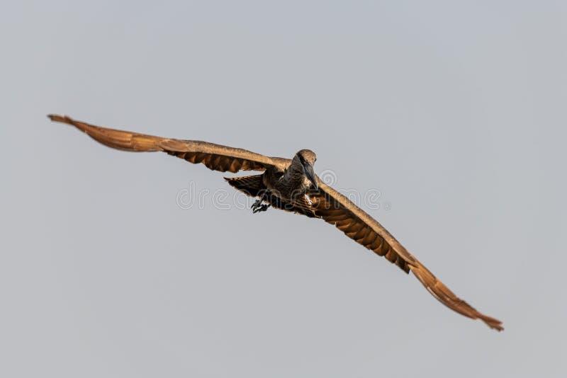 Pássaro marrom grande nos pantanais no rio do chobe em Botswana em África fotos de stock