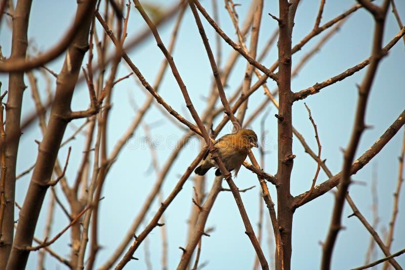 pássaro mascarado do sul fêmea do tecelão em uma árvore imagens de stock