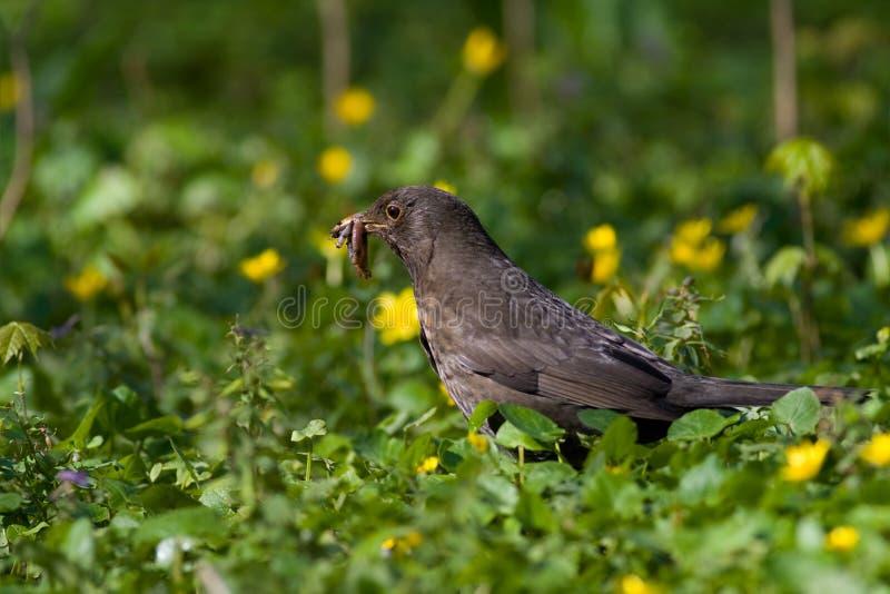 Pássaro - melro imagens de stock