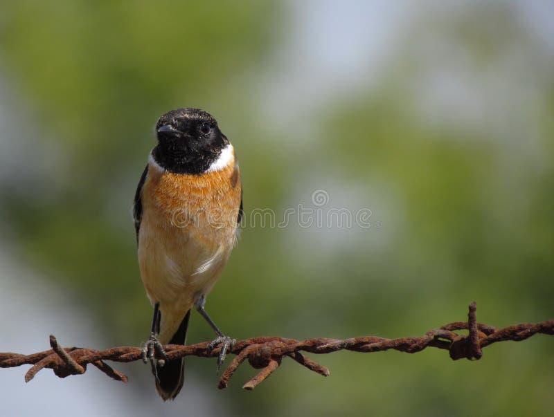 Pássaro na cerca do arame farpado fotos de stock royalty free