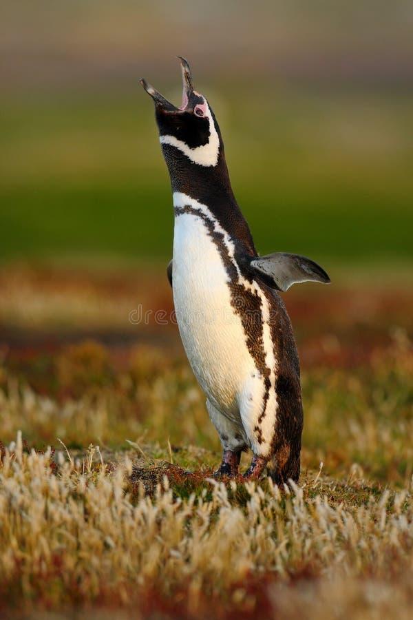Pássaro na grama Pinguim na grama vermelha da noite, pinguim de Magellanic, magellanicus do Spheniscus Pinguim preto e branco no  foto de stock