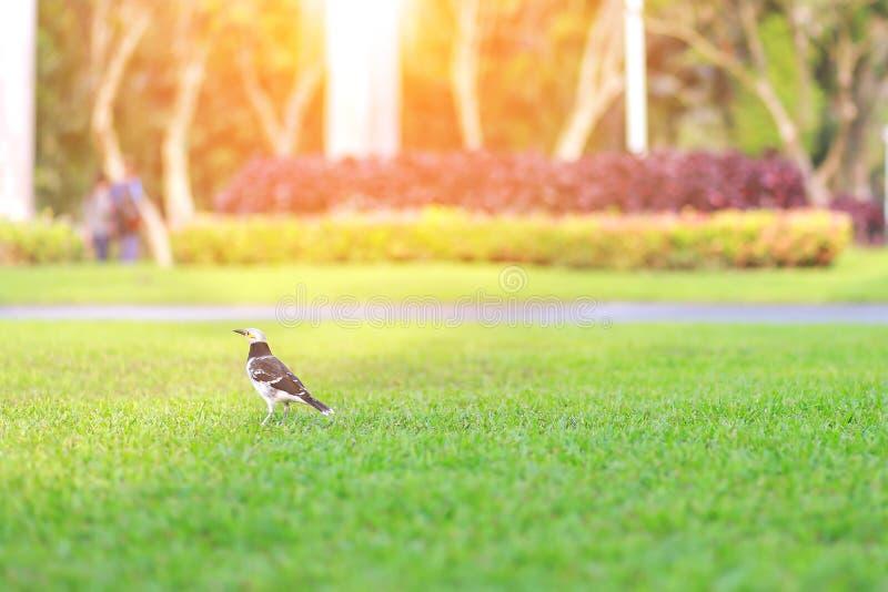 Pássaro na grama verde no parque com o jardim da natureza do borrão fotos de stock
