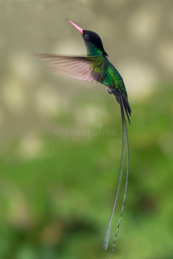 Pássaro nacional do ` s de Jamaica - medique Bird Hummingbird imagem de stock royalty free