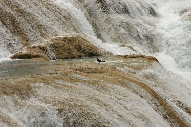 Pássaro nas cachoeiras da água Azul em México foto de stock royalty free