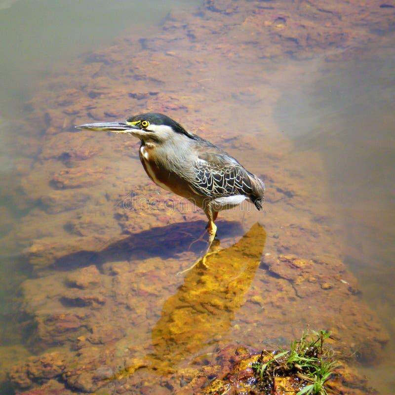 Pássaro nativo brasileiro de Socozinho - de Asmall fotografia de stock