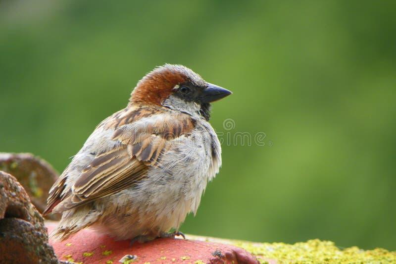 Pássaro no telhado imagens de stock