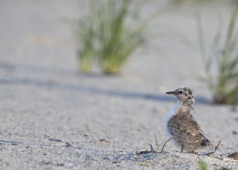 Pássaro novo comum da andorinha-do-mar (Hirundo dos esternos) foto de stock royalty free