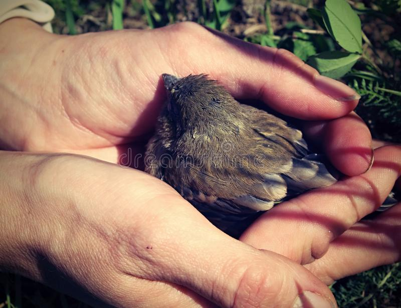 Pássaro novo de salvamento foto de stock