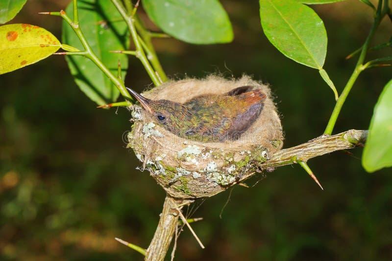 Pássaro novo do colibri rufous-atado no ninho foto de stock